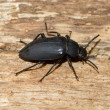 A large black beetle — Stockfoto