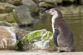 A Humboldt penguin — Stock Photo