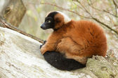 Red-bellied Lemur (Eulemur rubriventer) — Stock Photo