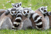 Ring-tailed lemur (Lemur catta) — ストック写真