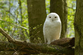 A snow owl — Foto Stock