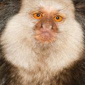 A Tufted-eared Marmoset — Stock Photo