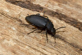 A large black beetle — 图库照片