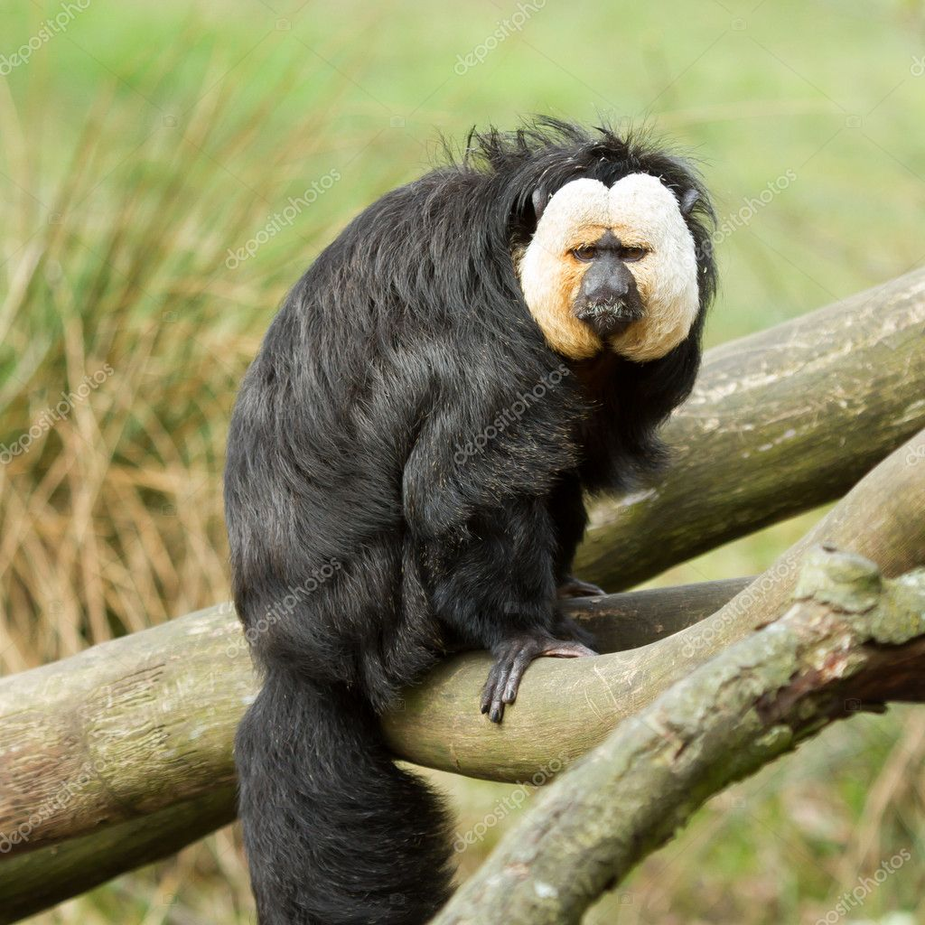 White-faced Saki (Pithecia pithecia) or also known as Golden-face saki monkey in a dutch zoo — Stock Photo #10054643