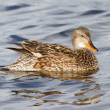 A Gadwall (female) — Stock Photo