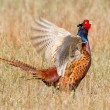A common Pheasant — Stock Photo