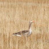 A greylag goose — Stock Photo