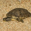 A European pond terrapin — Stock Photo