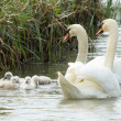Cygnets are swimming in the water — Stock Photo