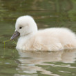 Cygnet is swimming — Stock Photo #10724342