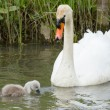 Cygnet is swimming in water — Stock Photo #10724383