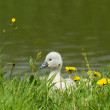 Cygnet is standing — Stock Photo #10724481