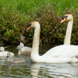 Cygnet are swimming — Stock Photo