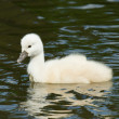 Cygnet is swimming — Stock Photo #10724485