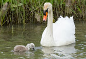 A cygnet is swimming in the water — Stock Photo