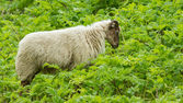 Old sheep — Stock Photo