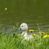 A cygnet is standing — Stock Photo