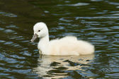 A cygnet is swimming — Stock Photo