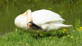 Swan in a funny position — Stock Photo