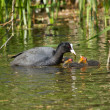 Coot is feeding — Stock Photo #9414210
