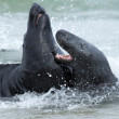 Two fighting grey seals — Stock Photo
