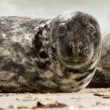 A grey seal — Stock Photo
