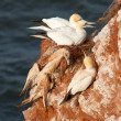 Stock Photo: Deceased gannet