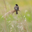 A sedge warbler — Stock Photo