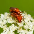 Stock Photo: Beetle Rhagonychfulva