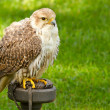 Falcon in captivity — Stock Photo #9414448