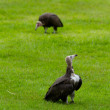 Two hooded vultures — Stock Photo