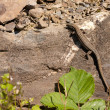 A lizard on a rock - Photo