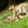 Two young monkey fighting - Photo