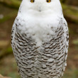 Snow owl — Stock Photo #9414732