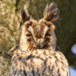 Stock Photo: Sleeping long-eared owl