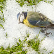 Stock Photo: Deceased blue tit