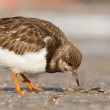 Ruddy Turnstone — Stock Photo #9414915