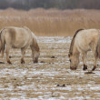 Grazing Konik horses — Stock Photo
