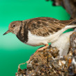 Ruddy Turnstone — Stock Photo #9414929