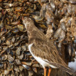 Ruddy Turnstone — Stock Photo #9414961