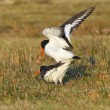Stock Photo: Two breeding oystercatchers