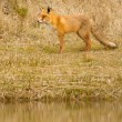 Stock Photo: A fox in Holland