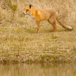 A fox in Holland — Stock Photo #9415358