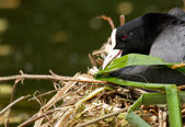 A common coot — Stock Photo