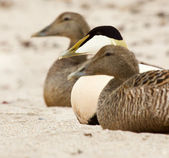Three common eiders — 图库照片
