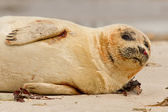 A common seal — Stock Photo