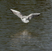 A seagull is flying — Stock Photo