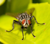 A housefly — Stock Photo