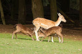 A fallow-deer is feeding — Stock Photo