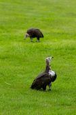 Twee hooded gieren — Stockfoto